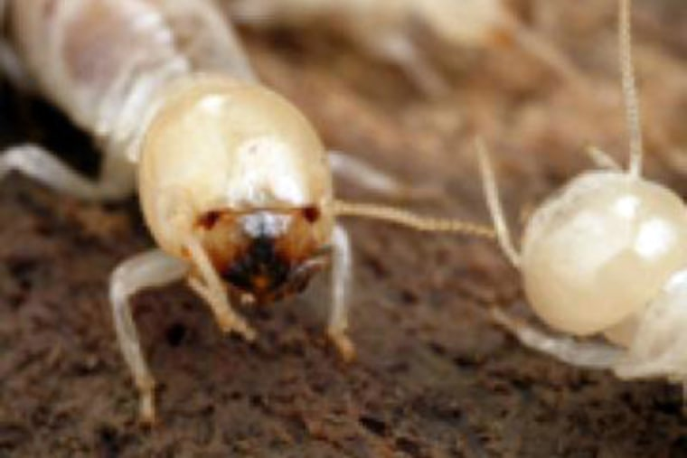 A close-up image of a Giant Northern worker termite.