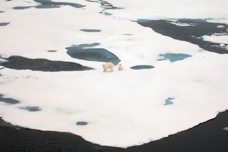 Two polar bears wander the Arctic ice during a research cruise to map the ice in 3-D.