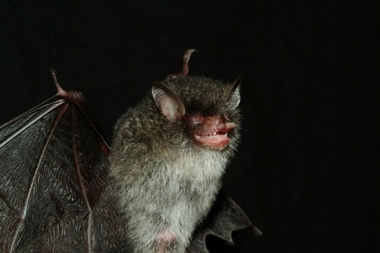 Beelzebub's tube-nosed bat.