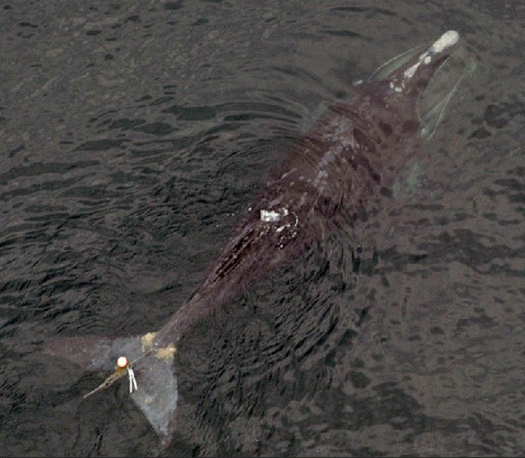 1-year-old female right whale with lobster gear lacerations