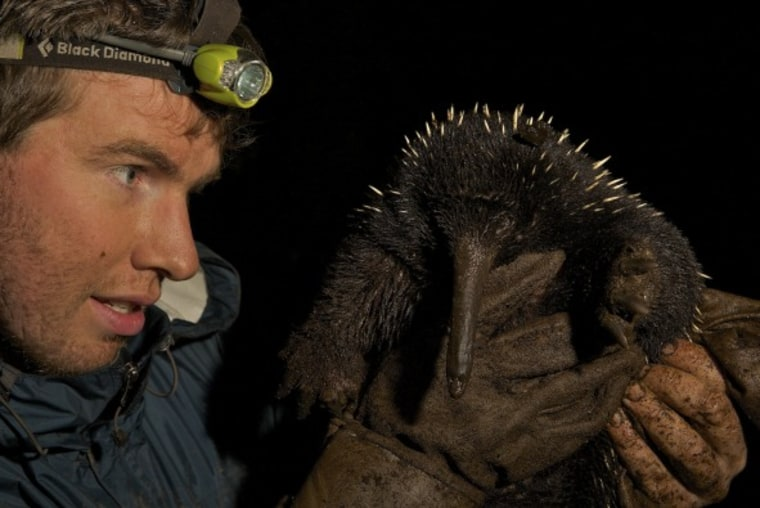 A long-beaked echidna from New Guinea.