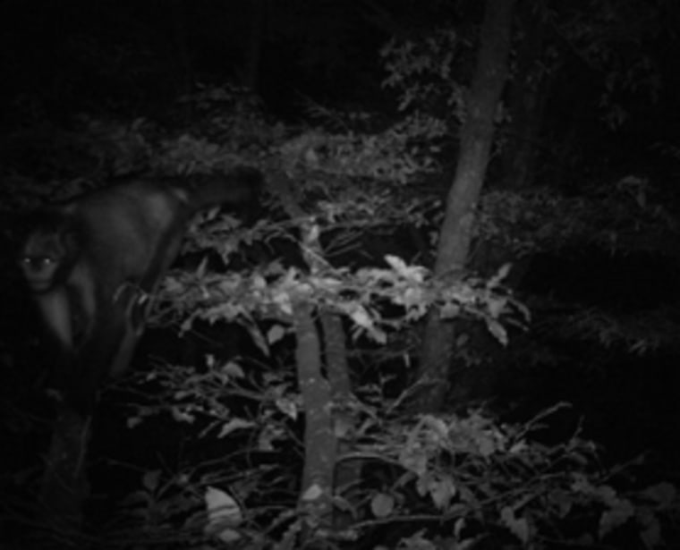 """""""Our camera trap photos showed Guizhou snub-nosed monkeys moving in trees at night,"""" lead author Chia Tan said. """"We believe the monkeys were on their way to search for food."""""""