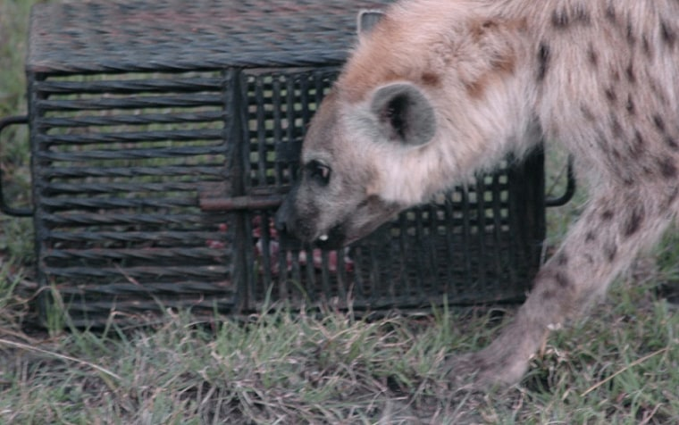 Image: Wild spotted hyena