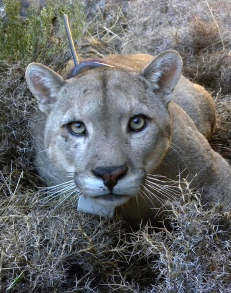 A portrait of an adult male puma, complete with a GPS collar.