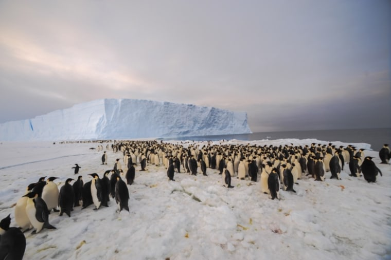 The newly discovered 9,000-strong emperor penguin colony on the East Antarctic coast.