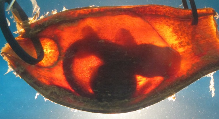Baby brown-banded bamboo sharks (Chiloscyllium punctatum) still developing within leathery egg cases can sense the electric fields of predators and freeze in place to avoid detection, researchers report online Wednesday in the journal PLoS ONE.