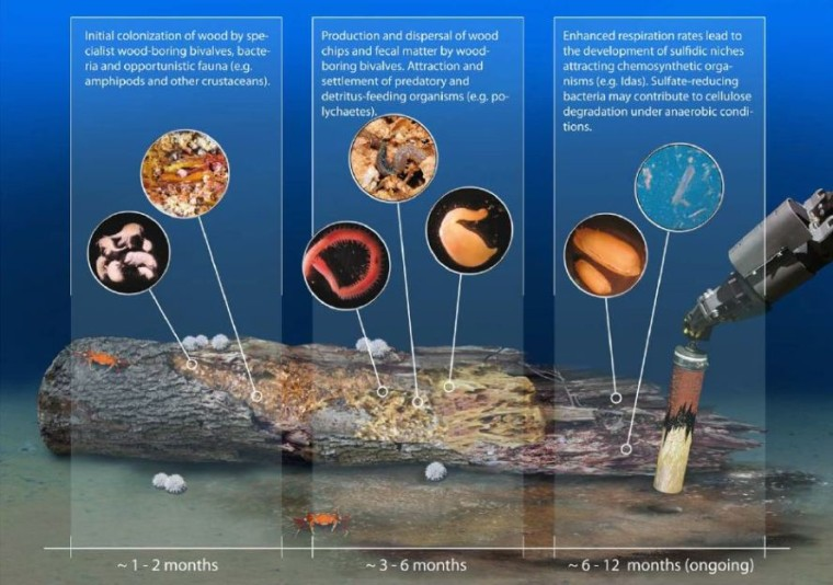 Colonization of deep-sea wood by various organisms.