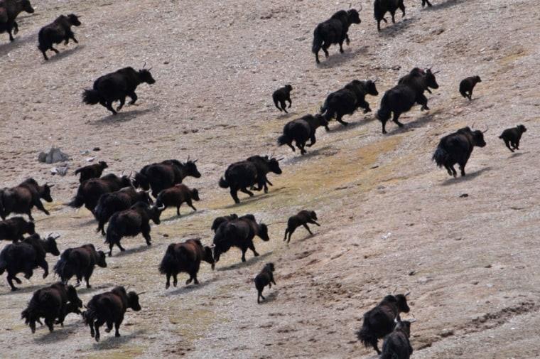 Yaks take off running in a rugged northwestern area of the Tibetan Plateau.