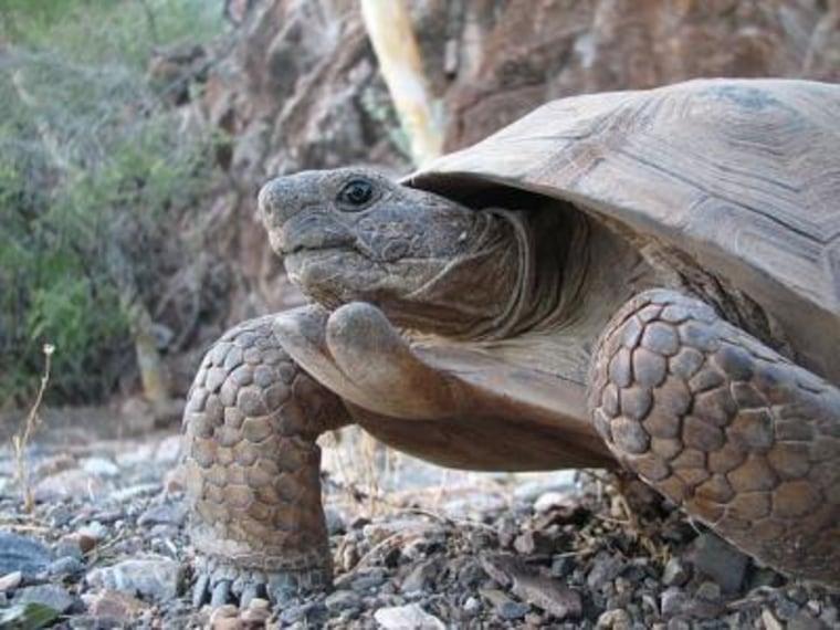 This is a specimen of the new species, Morafka's Desert Tortoise (Gopherus morafkai), from Tiburon Island, Sonora, Mexico.
