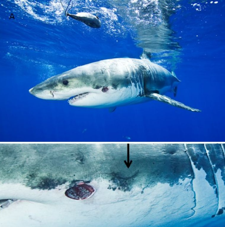 Two pictures of the great white shark with bite and scar inflicted by a cookiecutter shark. To the right of the fresh bite (arrow) is a suspected crescent-shaped scar from an earlier bite.