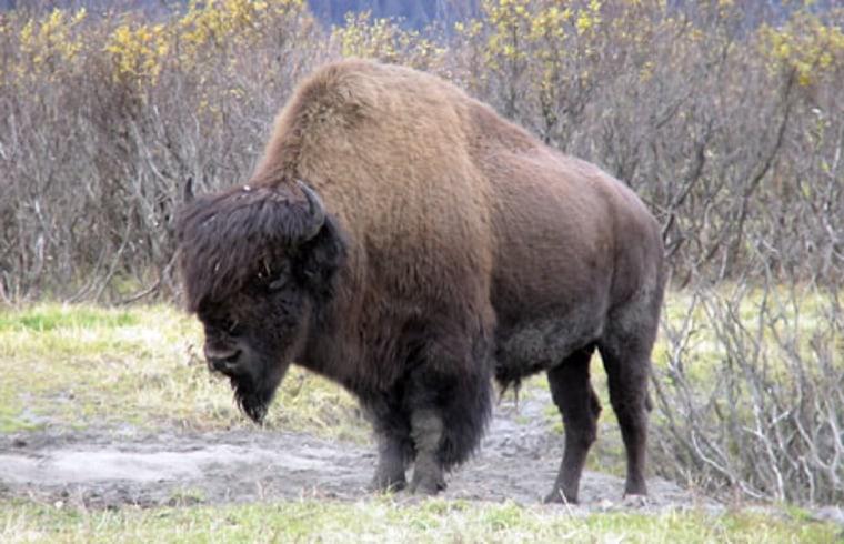 Image: Wood bison bull