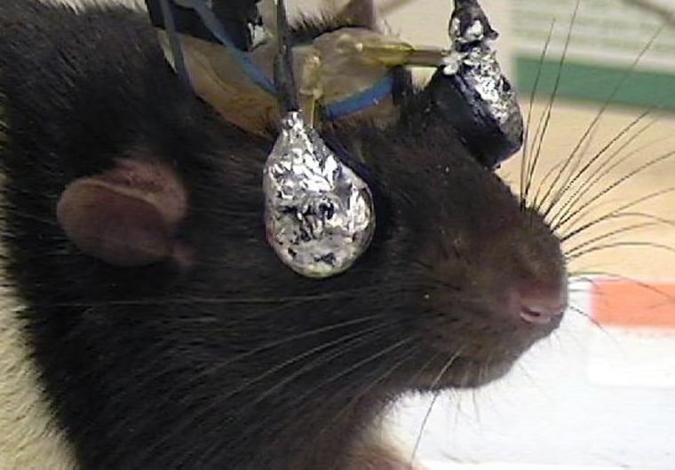 Image: Rat with goggles