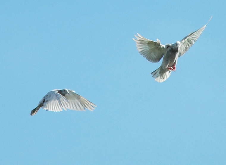 Image: Two homing pigeons
