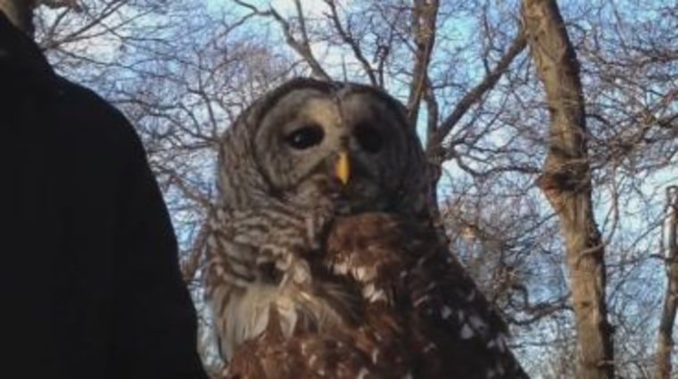 There are a couple of good reasons, researchers found,why some owls can rotate their heads 270 degrees in each direction.