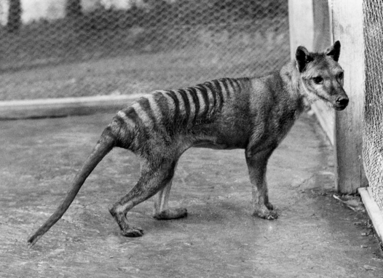 Tasmanian tigers (Thylacinus cynocephalus) looked somewhat like striped coyotes and were found throughout most of the Australian island of Tasmania before Europeans settled there in 1803.