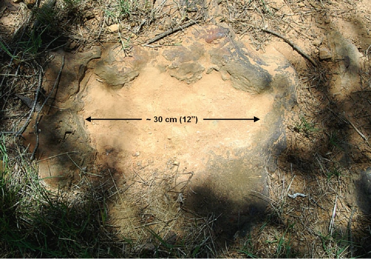This 12-inch-wide footprint belonged to an armored, tank-like plant-eater.