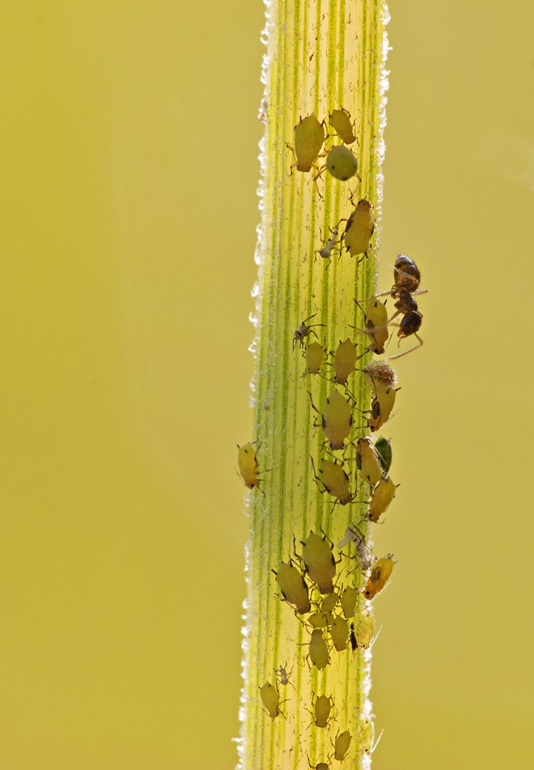Ants and aphids climb the stem of a plant.
