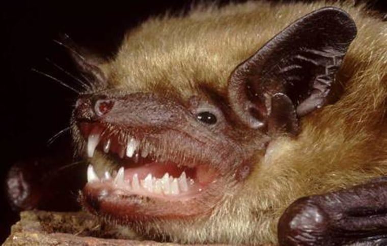 Bats (a little brown bat is shown here) been shown to carry a number of harmful infections, including rabies and viruses related to SARS (severe acute respiratory syndrome).
