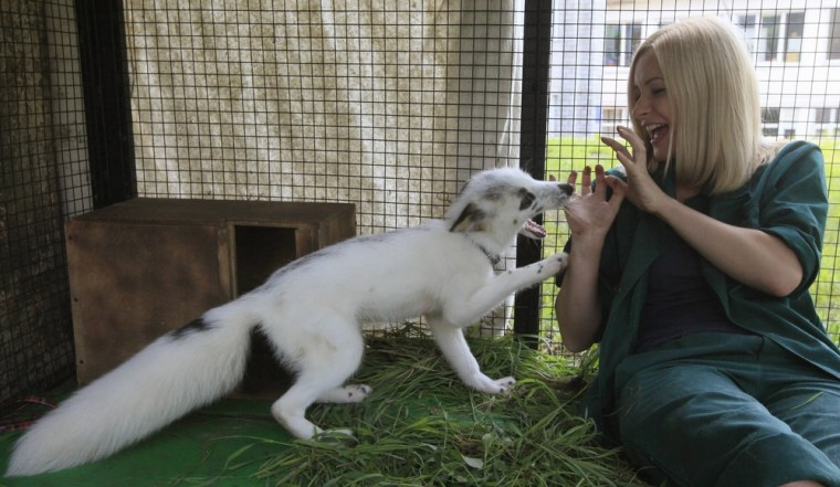 Image: Zoo employee Mikhailova plays with Vesna, a four-month-old female snow fox cub, in an enclosure at the Royev Ruchey zoo in Krasnoyarsk