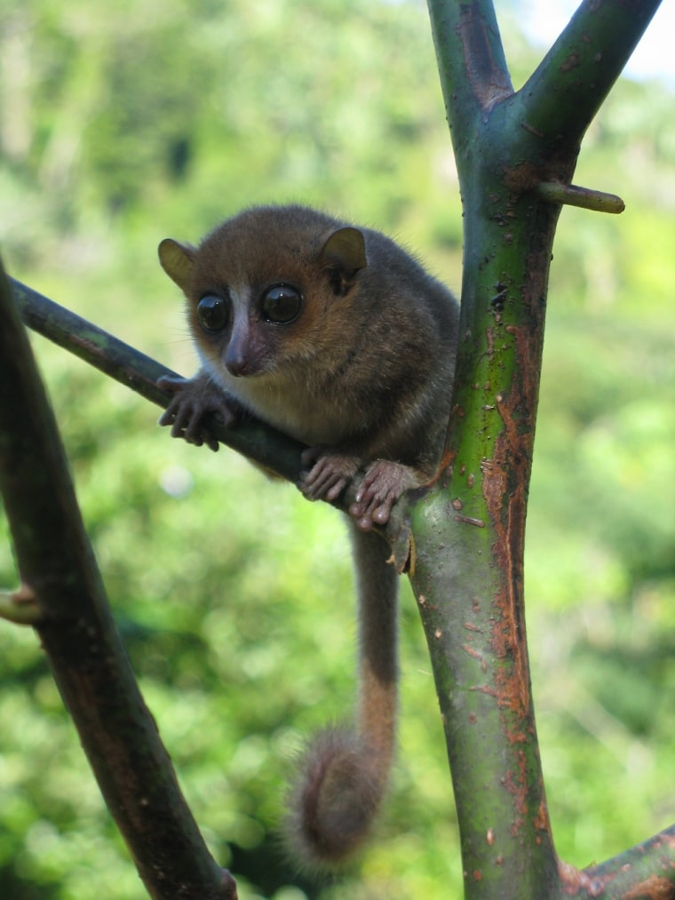 The new primate, Microcebus gerpi, is a mouse lemur that lives in the Sahafina forest in eastern Madagascar.