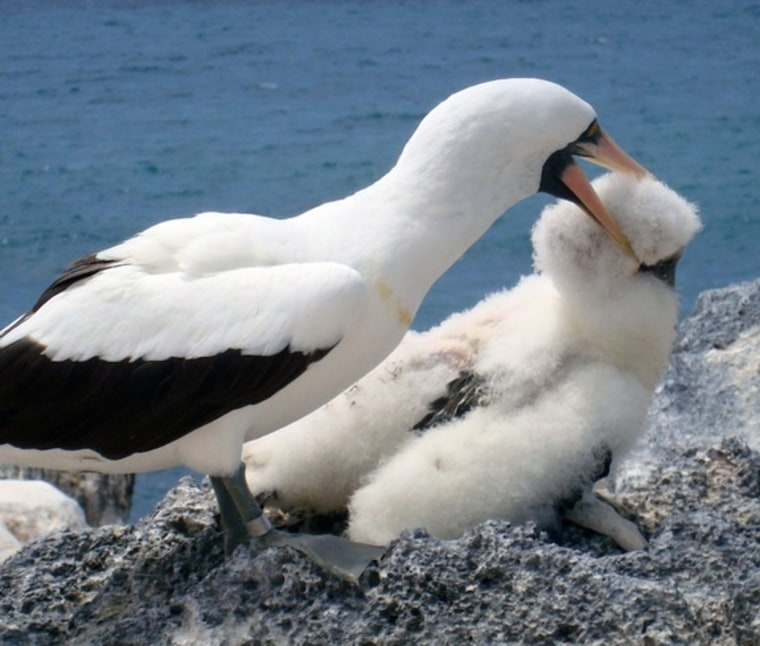 ANazca booby bites an unrelated chick. An October 2011 study finds that abused chicks are likely to grow up as abusers themselves.