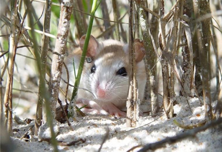 Anastasia Island beach mouse