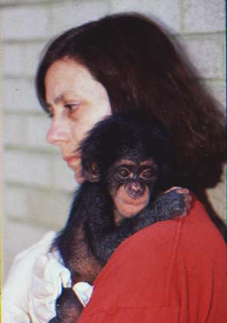 University of Portsmouth |   Motherly Love Kim Bard, a professor of comparative developmental psychology at the University of Portsmouth, provides nurturing to an orphaned baby chimp. Infant chimps that received such care scored higher on IQ tests at nine months than chimps that didn't receive motherly care. The attended chimps even scored higher than human nine-month-old babies.