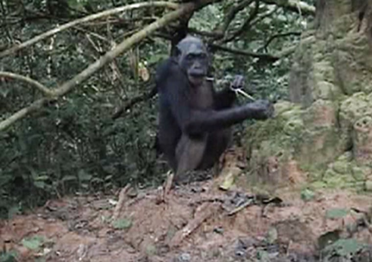 Josep Call and Royal Society Publishing |   Clever Tool-Makers Chimpanzees not only use a tool to snare termites but are able to modify it as well, a skill that requires conceptual and cultural skills, researchers say. Here a chimp is shown using a homemade brush tool to catch the insects.