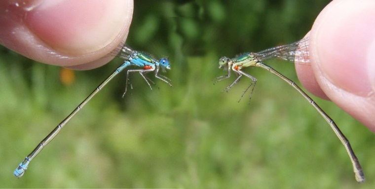 A more masculine female damselfly (left) appears beside its more feminine counterpart.