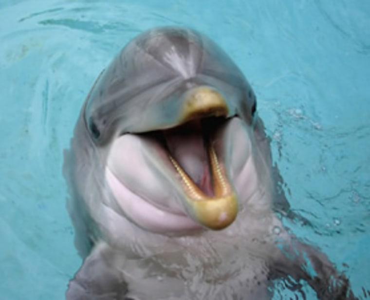 New MRI scans of dolphin brains shows that the animals are second only to humans in intelligence.