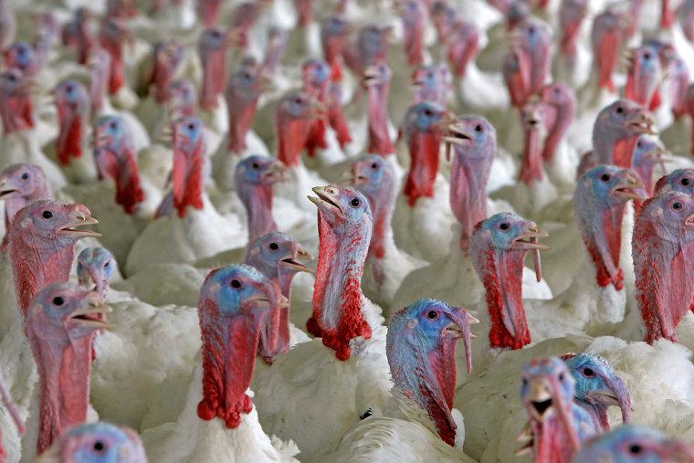 Image: Nineteen-week-old turkeys are shown on the Clayton Straughn farm near Turkey, N.C.