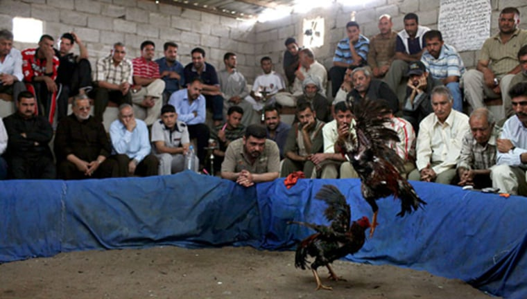 Image: An underground cockfighting den in a suburb of Baghdad. While betting is not legal, it is widely praticed at the fights.
