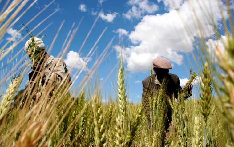 Image: Ethiopian farmers collect wheat in their field in Abay