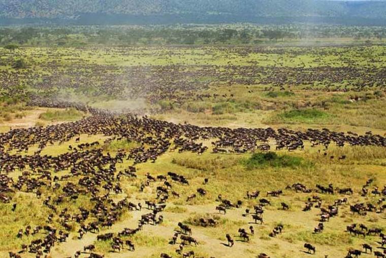 Wildebeest migration across the Serengeti.