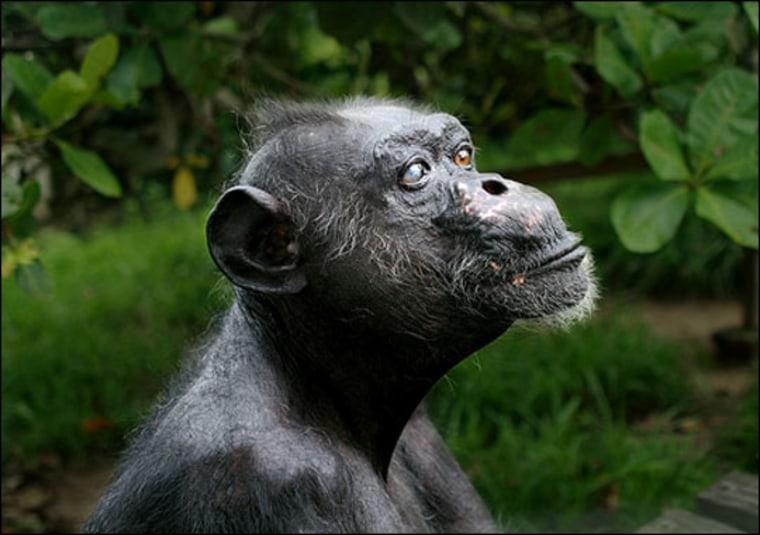 Courtesy of the Jane Goodall Institute | Gregoire, 1942(?) - 2008 Gregoire at the Jane Goodall Institute's Tchimpounga Chimpanzee Rehabilitation Center.