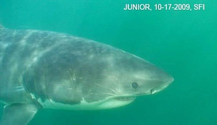 Junior the shark, in October 2009, near the Farallon Islands off the coast of northern California. More than a year later, the fish was rocketed to Internet fame because of an injury some blamed on a scientist.