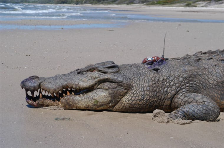 A 15.8-foot-long male estuarine crocodile is ready for release, equipped with a satellite transmitter to track its long-distance travel.