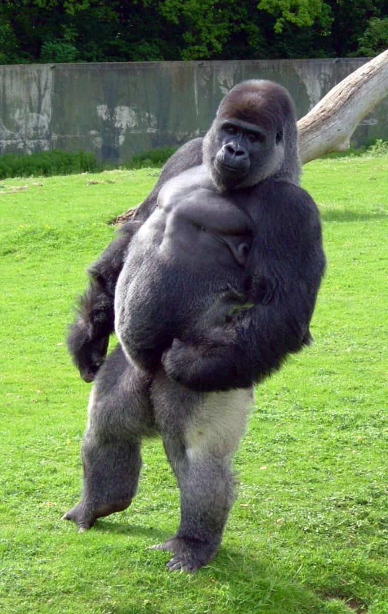Ambam the gorilla takes a stroll atan animal park in Kent, England.