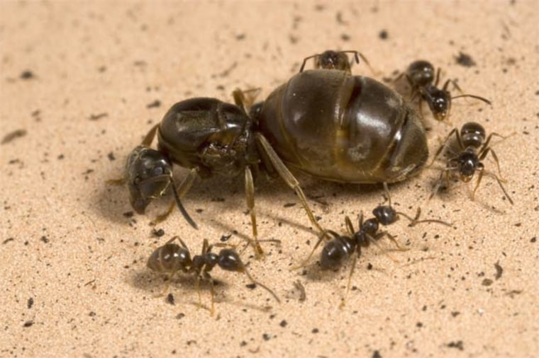 Worker ants typically tend to the needs of their queen, which is the fertile one of the bunch.