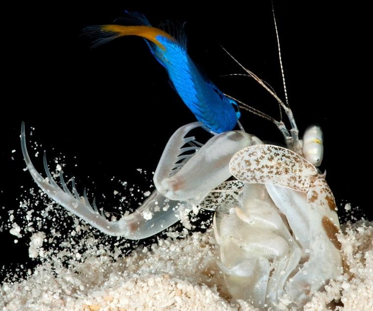 "A ""spearing"" shrimp, L. maculata, just after capturing a prey fish."