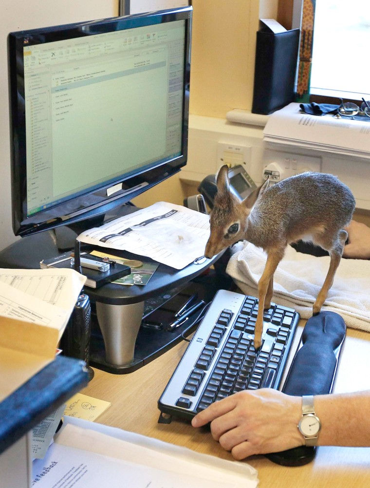 Image: A baby Dik-dik, walks across a computer keyboard in the office of Tim Rowlands curator of mammals at Chester Zoo