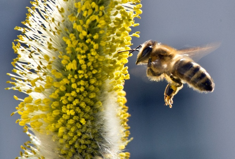 Image: GERMANY-WEATHER-ANIMALS-SPRING-BEE