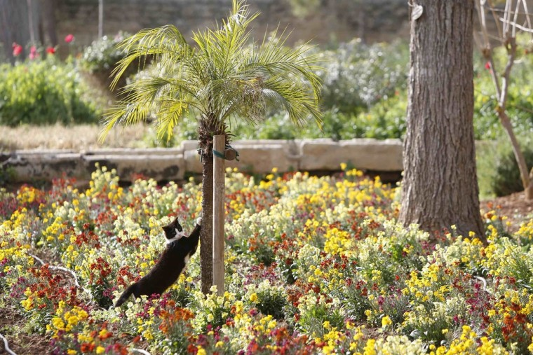 Image: Cat sharpens its claws on a small palm tree at the gardens of San Anton Palace, the official residence of Malta's President, in Attard