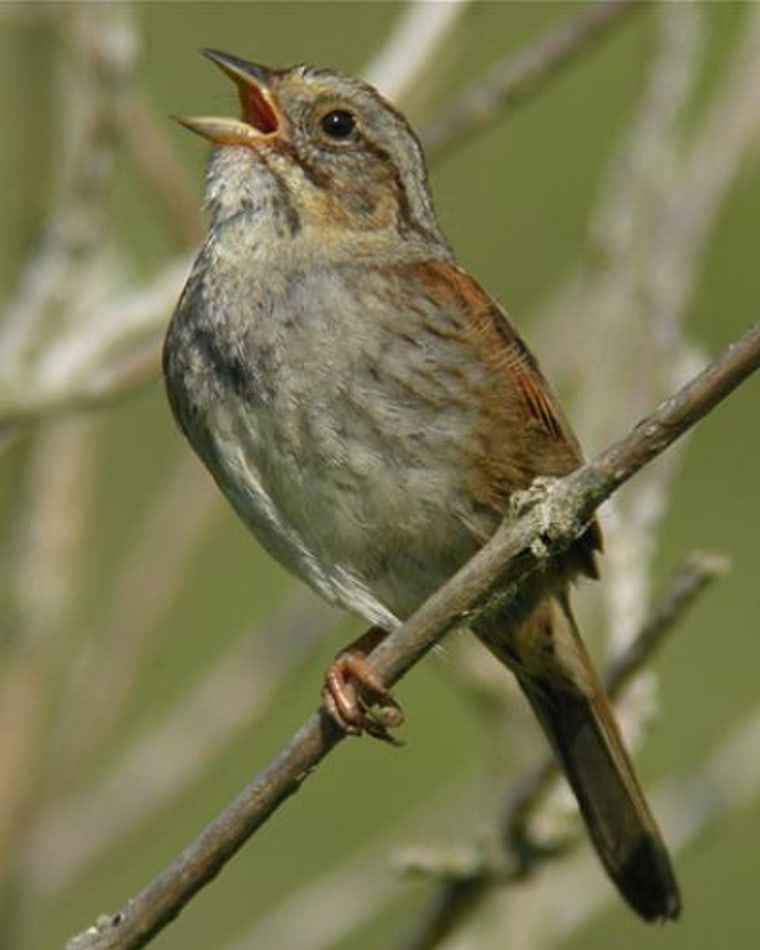 Robert Lachlan     Complex Singer A swamp sparrow. This small songbird with grey face and reddish wings defends his territory and attracts a mate usually by singing from a raised perch in a brushy swamp.   Discovery News Video    « back to article