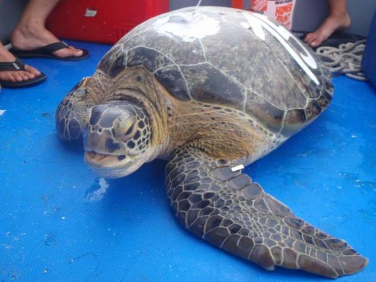 Bond, a green turtle from Dry Tortugas, wears a tag that lets scientists keep track of him during his travels.