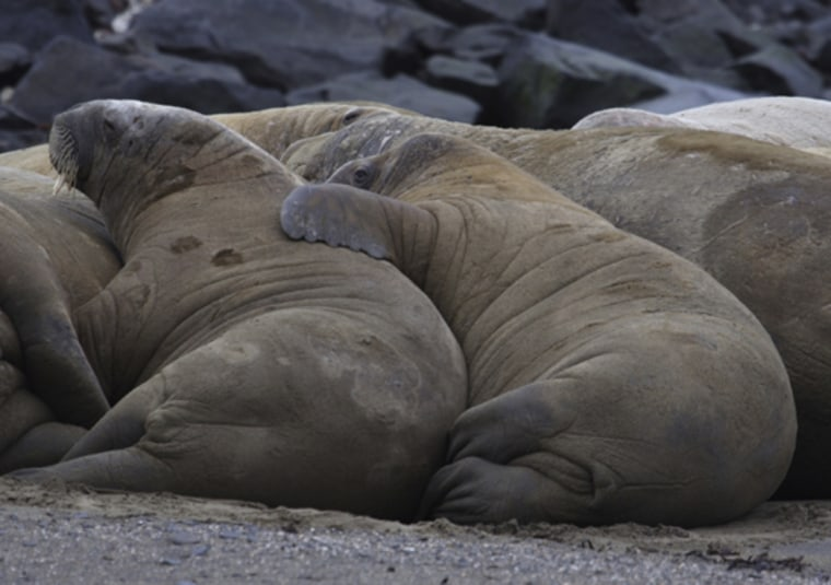 iStockPhoto |    Good Sleepers New studies show walruses can sleep in water, even while resting in water while using their tusks to hang from ice floes. The animals can also easily forgo sleep for up to 84 hours. |