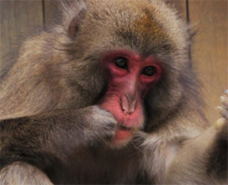 This Japanese macaque appears to recognize the value of a strong dental hygiene routine.