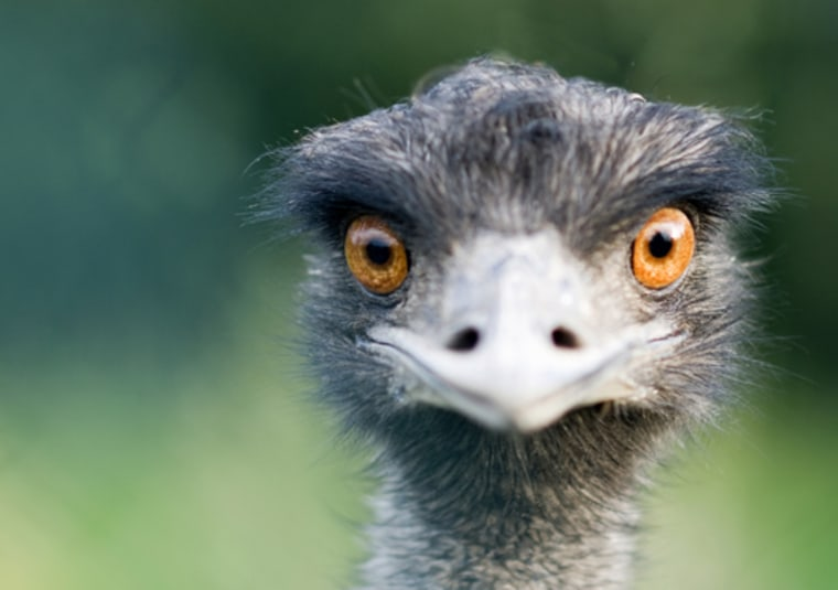 An ostrich. Dinosaurs resembling ostriches on steroids ran through Early Cretaceous China around 120 million years ago, according to a new paper that describes one such beast, weighing 1,400-pounds.