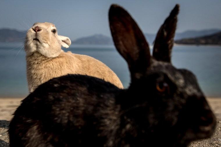 Image: Bunnies Attract Tourists To A Japanese Islet Okunoshima