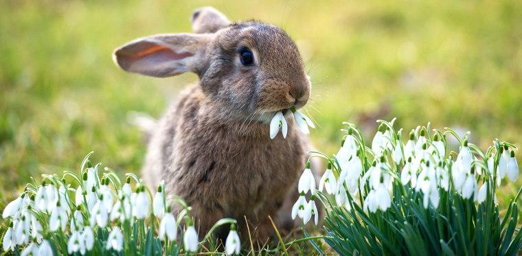 Image: Rabbit eats snodrops